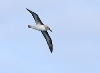 Gray-headed Albatross (Thalassarche chrysostoma) photo