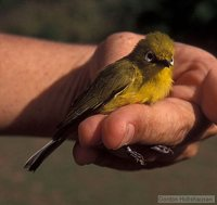 African Yellow White-eye - Zosterops senegalensis