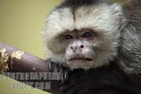 White fronted capuchin monkey stock photo