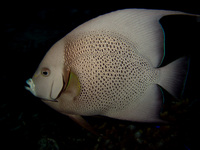 : Pomacanthus arcuatus; Gray Angelfish