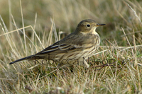 Buff-bellied Pipit Photograph by Rebecca Nason