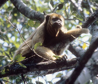 Black-and-gold howler (Alouatta caraya)