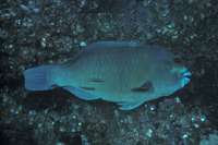 Scarus compressus, Azure parrotfish: fisheries