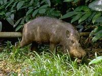 Image of: Sus barbatus (bearded pig)