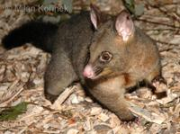 Trichosurus vulpecula - Common Brush-tailed Possum