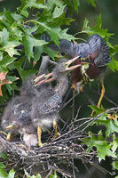 Image of: Butorides virescens (green heron)