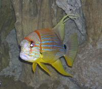 Image of: Symphorichthys spilurus (blue-lined seabream)