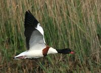 Common Shelduck - Tadorna tadorna