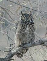 Great Horned Owl (Bubo virginianus) photo