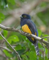 Violaceous Trogon (Trogon violaceus) photo