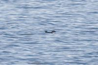 Common Diving-petrel - Pelecanoides urinatrix