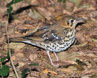 Spotted Ground-Thrush - Zoothera guttata