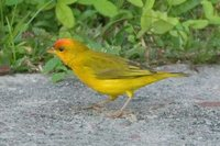 Orange-fronted Yellow-Finch - Sicalis columbiana
