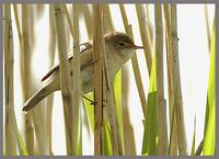 Reed Warbler at Priorslee Lake 15th May 2005,