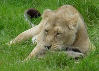 Photo of an Asiatic Lion Panthera leo persica