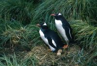Gentoo Penguins, Pygoscelis papua, Macquarie Island 1965 Photo © Barrie Jamieson