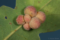 : Andricus brunneus; Clustered Gall Wasp;