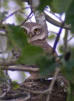 Spotted Owlet (Athene brama) 2004. december 20. Dibru-Saikhowa Wildlife Sanctuary