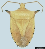Biprorulus bibax - Spined Citrus Bug
