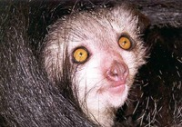 photograph of an aye-aye Daubentonia madagascariensis