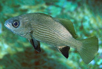 Odontoscion xanthops, Yelloweye croaker: fisheries