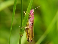 Omocestus viridulus - Common Green Grasshopper