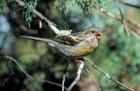 Image of: Carpodacus vinaceus (vinaceous rosefinch)