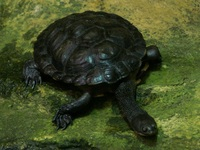 Chelodina longicollis - Common Long-necked Turtle