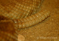 Crotalus ruber - Red Diamond Rattlesnake
