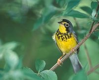 Canada Warbler (Wilsonia canadensis) photo