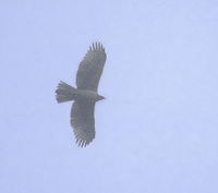 Mountain (Hodgson's) Hawk-Eagle (Spizaetus nipalensis) photo