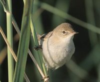 European Reed Warbler (Acrocephalus scirpaceus) photo