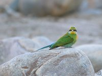 Swallow-tailed Bee-eater - Merops hirundineus
