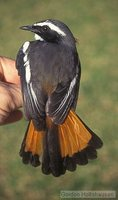 White-throated Robin-Chat - Cossypha humeralis