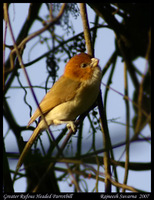 Rufous-headed Parrotbill - Paradoxornis ruficeps