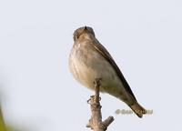 Dark-sided flycatcher C20D 03927.jpg