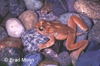 : Ascaphus montanus; Tailed Frog