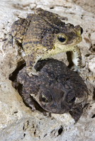 : Bufo lemur; Puerto Rican Crested Toad