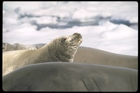 : Lobodon carcinophagus; Crabeater Seal