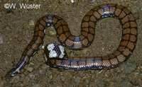 : Cylindrophis maculatus; Sri Lankan Pipesnake