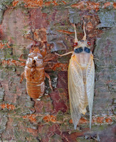 : Magicicada sp.; 17-year Periodical Cicada