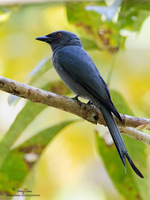 Ashy Drongo Scientific name - Dicrurus leucophaeus