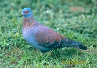 Photo of holub skvrnitý Columba guinea Speckled Pigeon Guineataube