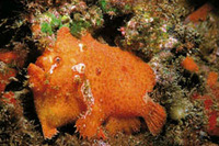 Antennarius nummifer, Spotfin frogfish: aquarium