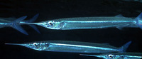 Hyporhamphus affinis, Tropical halfbeak: fisheries