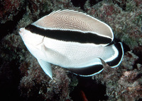 Apolemichthys arcuatus, Banded angelfish: aquarium