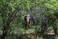 Image of: Elephas maximus (Asiatic elephant)