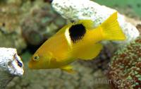 Bodianus perditio - Golden-spot Hogfish