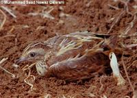 Small Buttonquail - Turnix sylvaticus