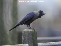 House Crow - Corvus splendens